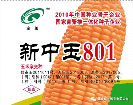 新中玉801 | 雜交玉米新時代引領者